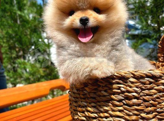 3 aylık güzeller güzeli güleryüzlü Pomeranian Boo kızımız
