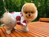 Orijinal Renk Yapısına Sahip PomeranianBoo Yavrularımızdan