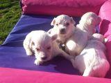 Sıfır Numara Maltese Terrier Yavruları