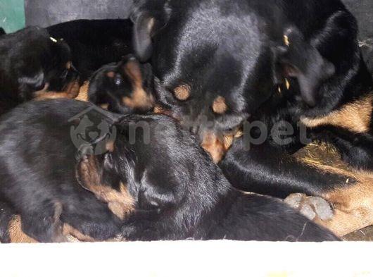 Koca Kafa Macar Rottweiler Yavrularım