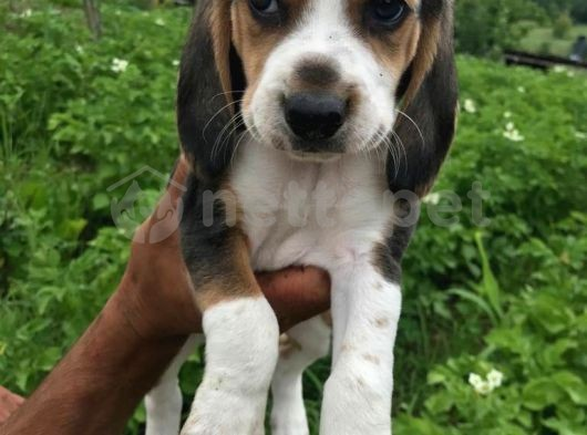 Orjinal Beagle Yavrular