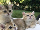 Secereli golden britişh yavrularım