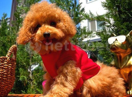 Toy Poodle Yavrumuz  'Frodo '