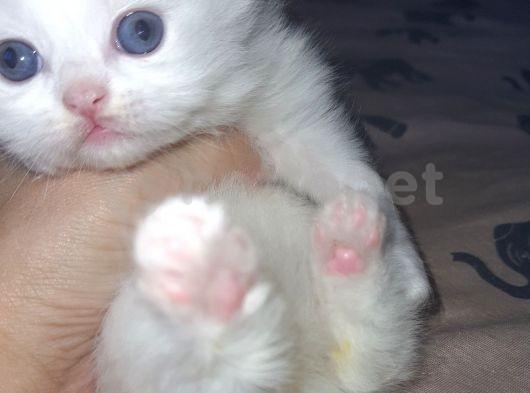 İran persian kedi yavruları