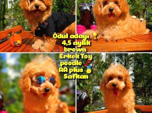 Orjinal renk Safkan Red Brown Toy poodle Oğlumuz Browni @yavrupatiler