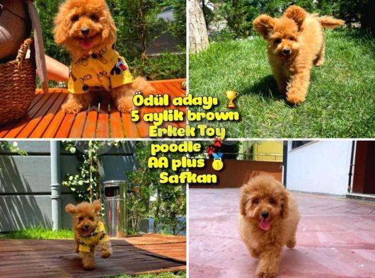 Orjinal renk Safkan Brown Toy poodle Oğlumuz Badem @yavrupatiler