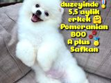 Küt burun Kare surat Yarışma Adayı Safkan Boo Pomeranian @yavrupatiler