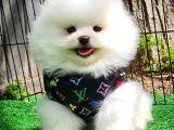 Pomeranian teddyface boo