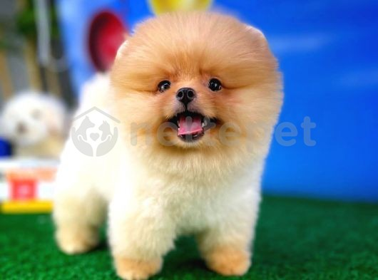 Pomeranian boo teddybear
