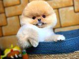 Pomeranian boo teddyface Gülen yüz