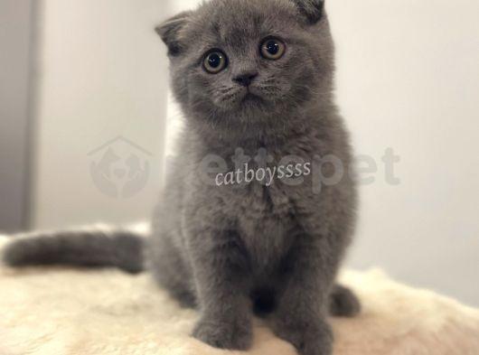Scottish Fold blue dişi yavrumuz @catboyssss da