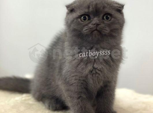 Blue scottish fold dişi yavrumuz @catboyssss da