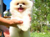 Pomeranian teddyface surat