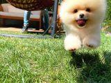 Pomeranian boo Daha fazlası için bizlere ulaşabilirsiniz