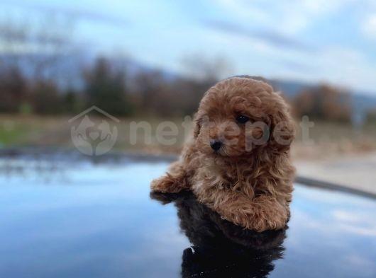 Minicik Toy Poodle Erkek Evlat