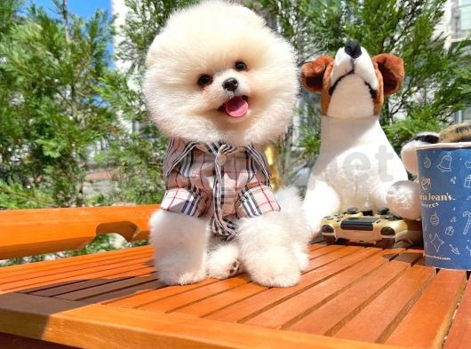Mini boy teddy bear surat Pomeranian boo yavrumuz