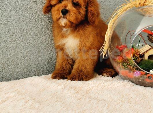 Red Toy Poodle yavrularımız