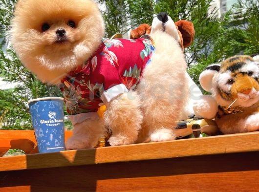 3 aylık çok sevimli erkek Pomeranian Boo yavrumuz