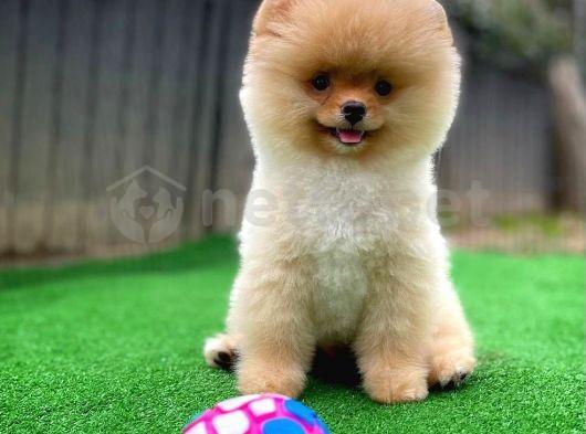 Pomeranian boo mini boy