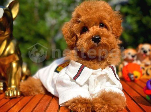 Irk ve sağlık garantili toy poodle