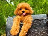 Toy poodle mini boy