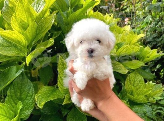 Prenses Kızımız Maltese Terrier