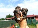 Sevimli chihuahua bebekler