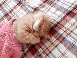 İran kedisi 7 aylık