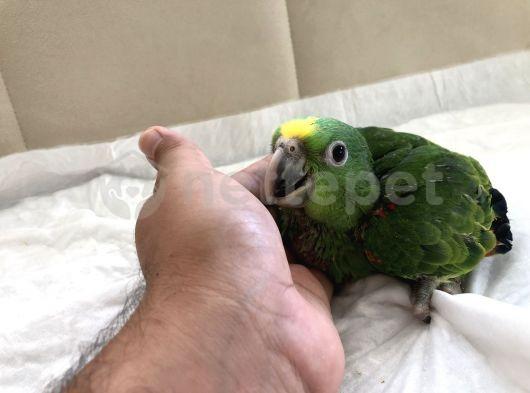 Sarı alın Amazon papağan