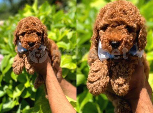 Anne Altından Orjinal Toy Poodle Yavrumuz