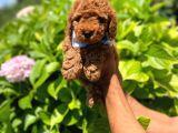 Anne Altından Toy Poodle