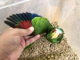 Amazon papağan ALBİFRONS