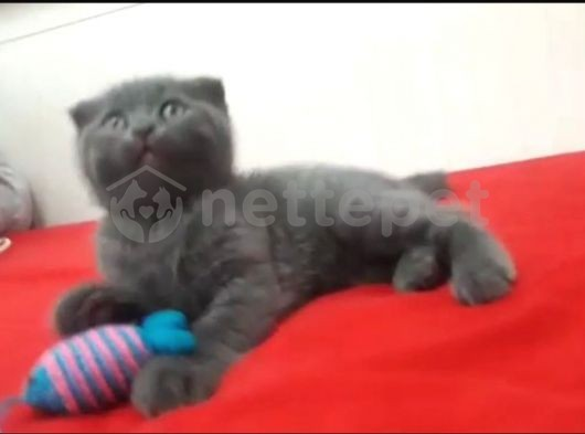 Scotish fold erkek yavru kedi