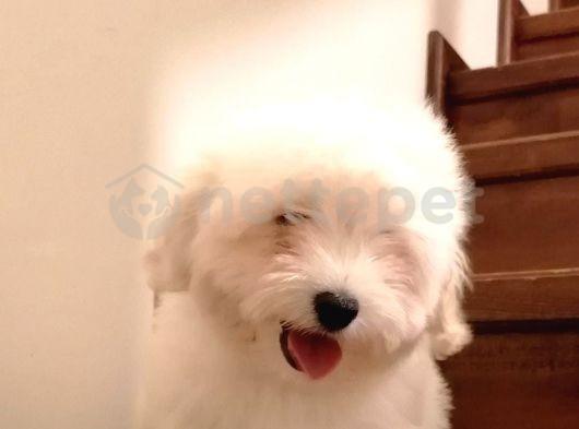 Sevimli Maltise Terrier yavrularimiz