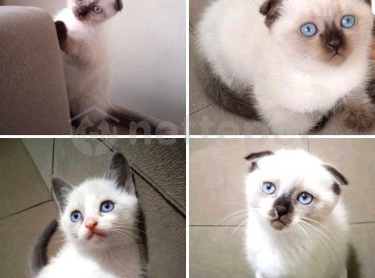 Scottish Fold Bluepoint mavi göz Yavrular 2aylık
