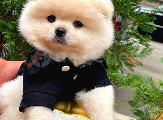 Yeni Ailesine Sahiplendirilmeyi Bekleyen TeddyFace Boo Oğlumuz