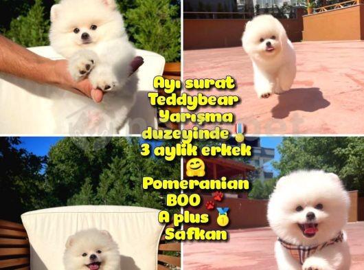 Basık surat 0,5 burun Ödül Adayı Safkan Boo Pomeranian @yavrupatiler