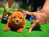 YArışma Duzeyi Secereli Red Brown Toy Poodle Yavrularımız