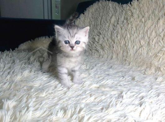 Scottish Straight dişi yavru kedi yeni yuvası için hazırlanıyor!