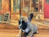 Sevimli frenc Bulldog yavrular