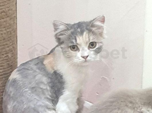 Bal kedi pişi 5 aylik dişi çok tatlı