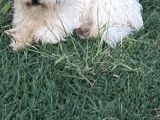 Safkan Maltese Terrier Haylaz ve sadık