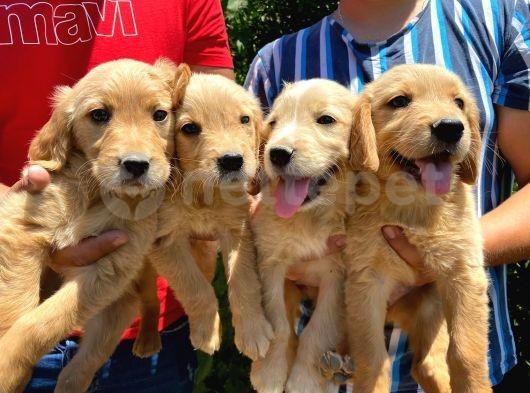 Sevimli Golden bebekler