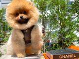 Secere Sertifikalı TeddyFace PomeranianBoo Oğlumuz