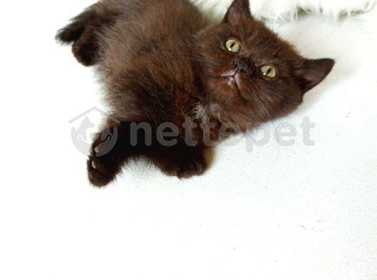 british sorthair black chocolate