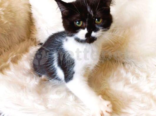 scottish straight bicolor black&white