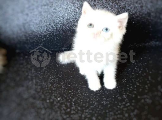 british sorthair white odd eyees 2