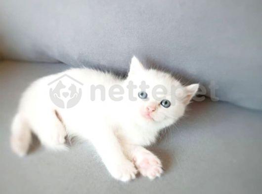 british sorthair white 3- rezerveye açık