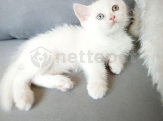 british sorthair white odd eyees 1