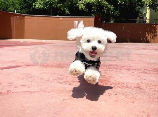 Safkan maltese terrier oğlumuz